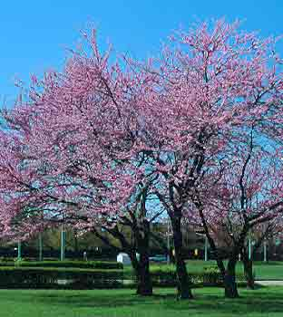 Eastern Redbud Department Of Horticulture