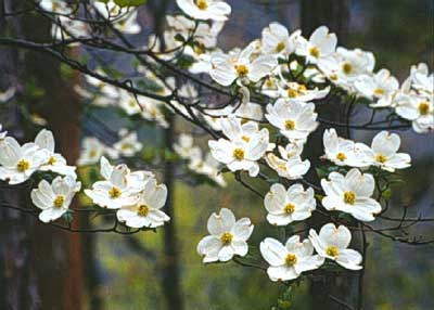 Flowering Dogwood Department Of Horticulture
