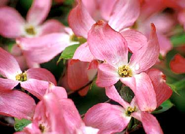 pink or red flowers - Dogwood Flower