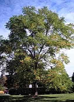 Kentucky Coffeetree Department Of Horticulture