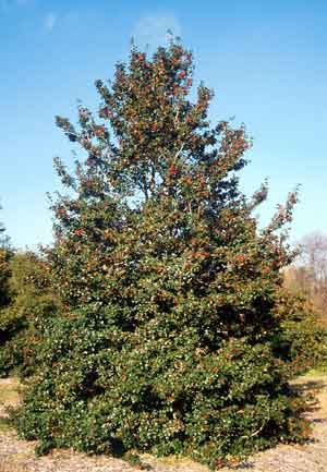 American Holly Department Of Horticulture