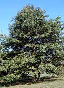 Shingle Oak Leaf