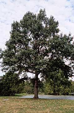Chinkapin Oak Department Of Horticulture