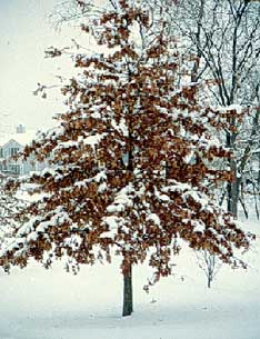 Pin Oak Is Easy To Transplant Because It Has A Shallow Fibrous Root System S Ability Thrive In Nursery Culture Explains Why Common Tree