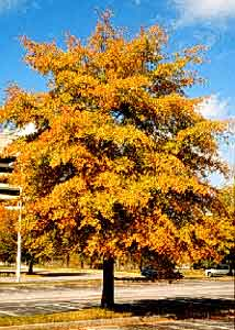 Willow Oak Department Of Horticulture