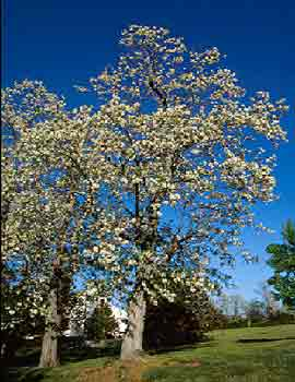 Black locust department of horticulture black locust mightylinksfo