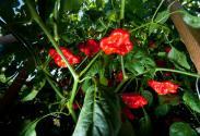 Uba tuba peppers