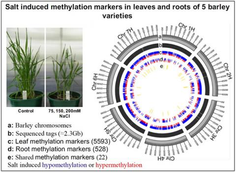 "graphical abstract, ""Salt Stress Induces Non-CG Methylation in Coding Regions of Barley Seedlings (Hordeum vulgare),"" Epigenomes, Volume 2, Issue 2, June 2018"